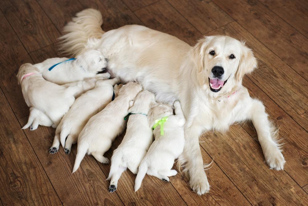 castratie van een hond: natuurlijk levensverloop