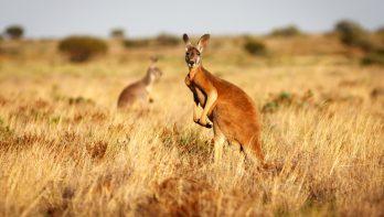 Wilde Dieren Encyclopedie: de Kangoeroe