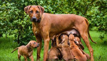 De voor- en nadelen van een castratie bij je hond