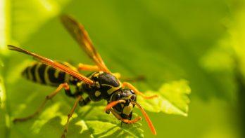 Zijn hoornaars nu wel of niet gevaarlijk?