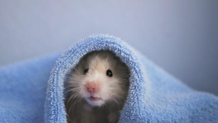 Veel voorkomende ziektes bij de hamster