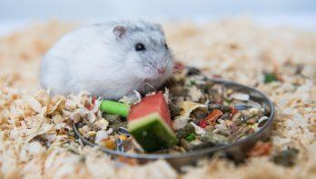 Dit is een gezond dieet voor je hamster