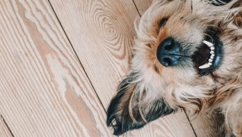 Castratie van een hond of sterilisatie? De voor – en nadelen