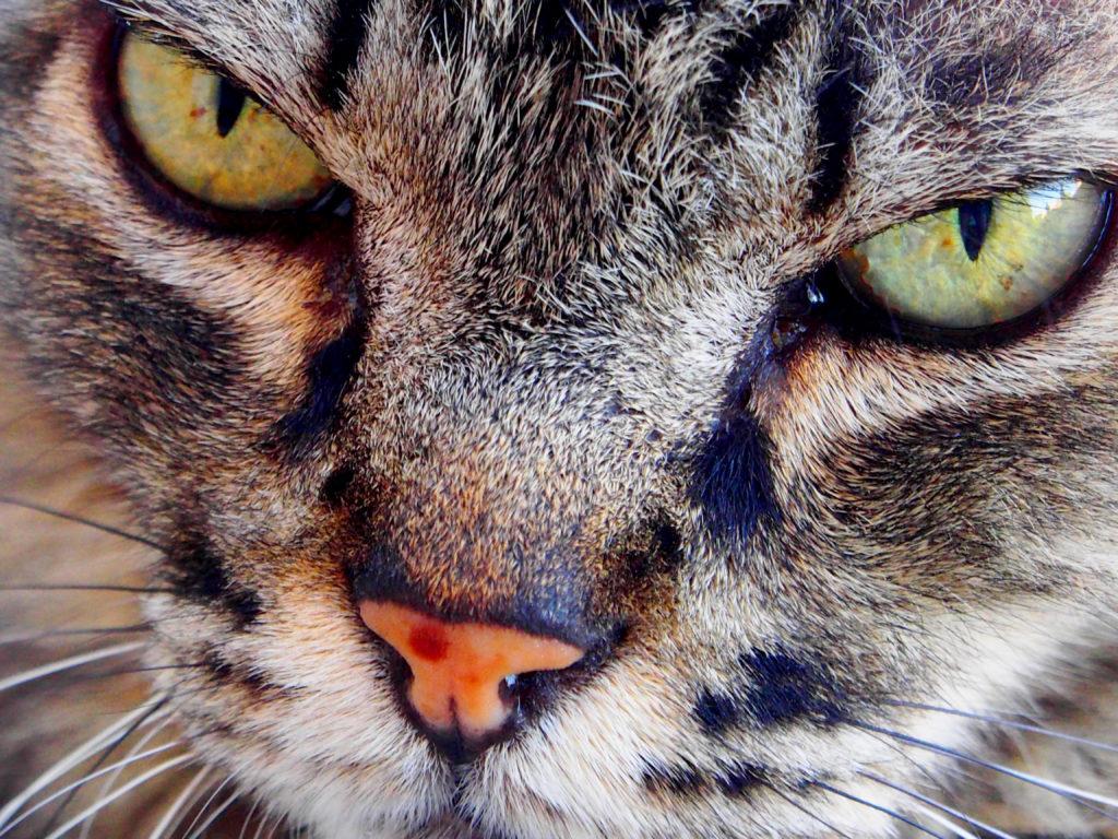 artrose bij katten: agressief