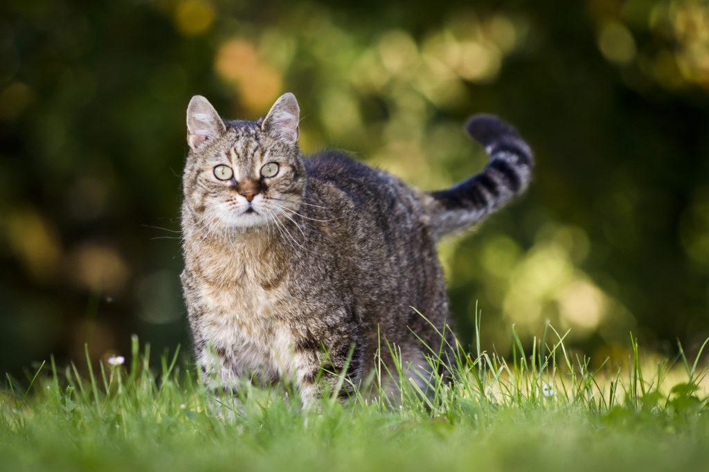 artrose bij katten: overgewicht