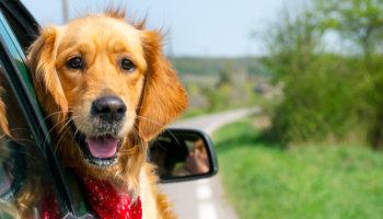 hond in auto meenemen