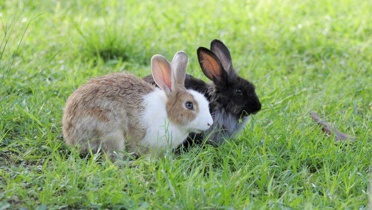 Hoe koppel je konijnen? Het koppelproces in stappen.