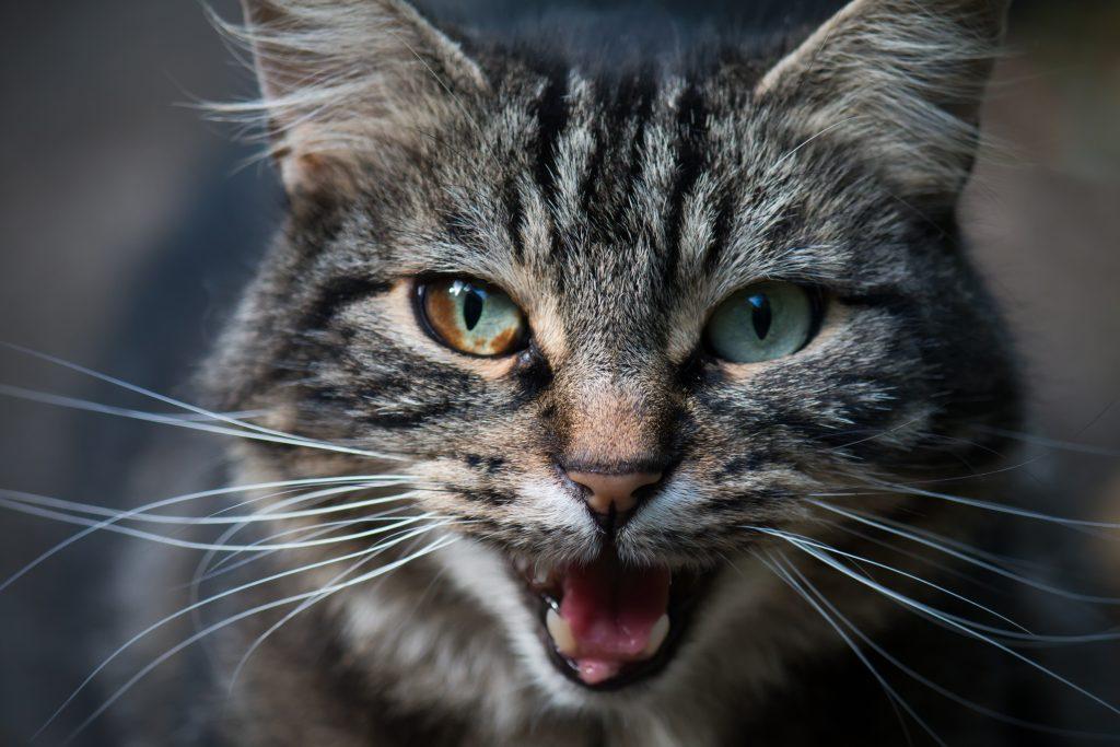 Kattentaal miauwen