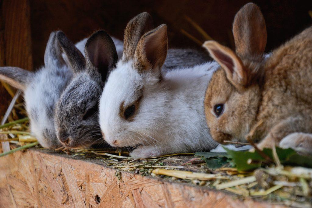 koppel je konijnen: tijd