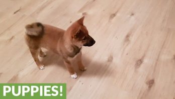 Shiba Inu puppy is super blij als z'n baasje thuis komt