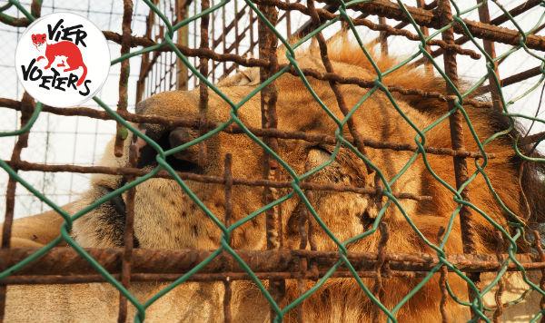 VIER VOETERS krijgt groen licht voor reddingsmissie Safari Park Zoo Fier