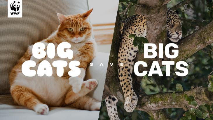 Belgische dikke katten moeten Amerikaanse jaguar redden