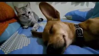 Kat boos op windjes latende hond