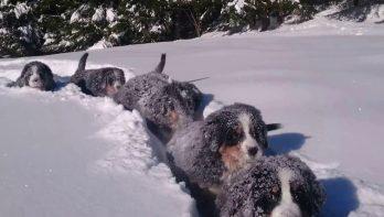 Puppy's hebben dolle pret in de sneeuw