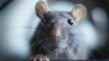 De giggle van een rat: kietelen maar!