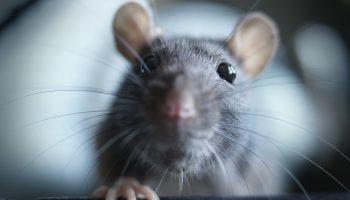 giechel rat
