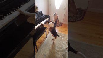 Zingende beagle op piano