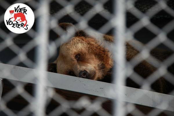 Het trieste leven van twee beren