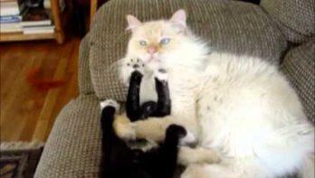 Kitten pest volwassen kat