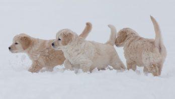 Puppy's en moederhond spelen in sneeuw