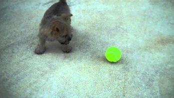 Puppy krijgt zijn eerste tennisbal