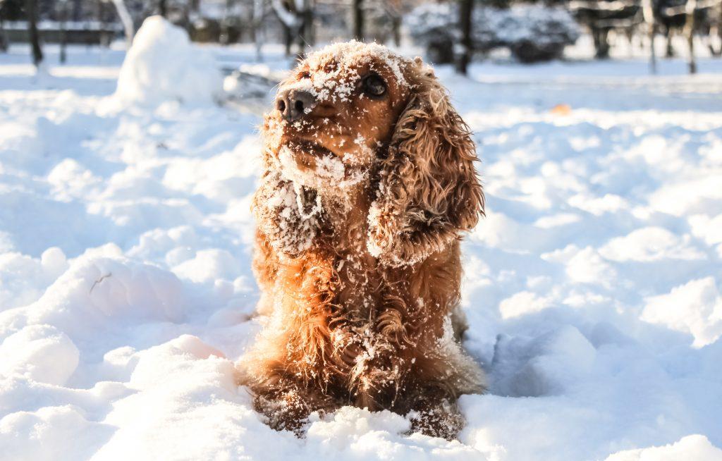 Hond in de winter: sneeuwballen