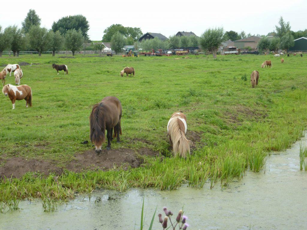 pony uit sloot weidedieren