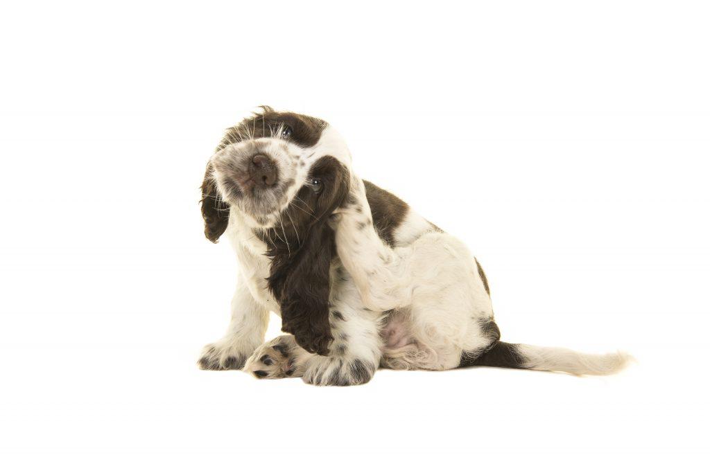 Hond in de winter: parasieten