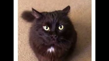Wanneer een kat zijn zin niet krijgt...