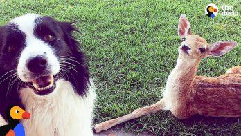 De redding van een hertje met 3 benen