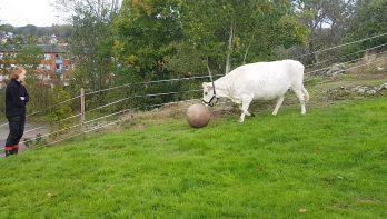 Een voetballende koe