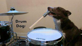 Hond met ritmegevoel bespeelt het drumstel