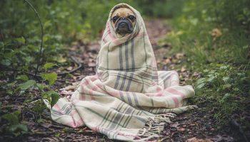 https://pixabay.com/en/pug-dog-pet-animal-puppy-cute-801826/