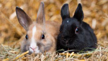 Welke konijnen passen bij elkaar? Geschikte combinaties...