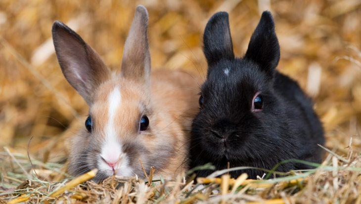 Welke konijnen passen bij elkaar? Geschikte combinaties…