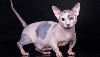 Designer cats Bambino Sphynx
