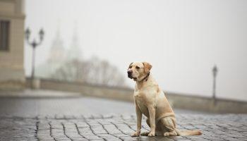 Gevonden honden petitie