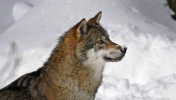Hond blijkt wolf te zijn