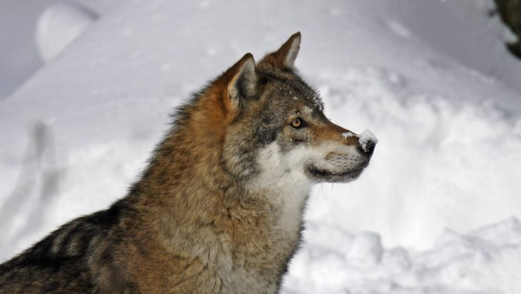 Bouwvakkers redden hond, alhoewel het een wolf blijkt te zijn