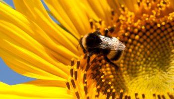 zonnebloemen bijen en hommels