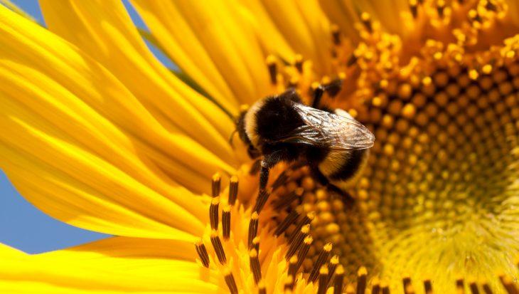 Zonnebloemen verhogen weerstand van bijen en hommels