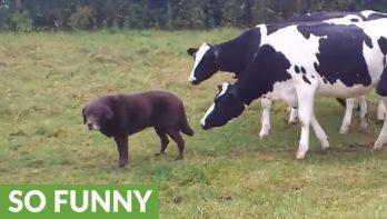 Als je een paar nieuwsgierige koeien achter je aan hebt...