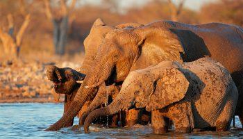 dierenpopulaties:olifanten