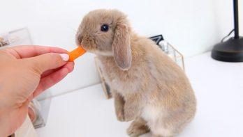 Ontmoet Marshmallow: een konijn dat je hart laat smelten