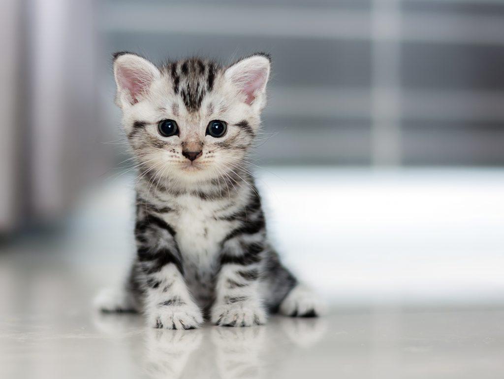 vacht van een kat kitten