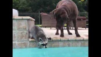 Wasbeer en hond klaar om een duik te nemen