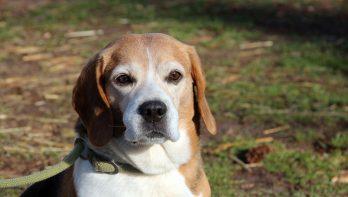 Beagle Keno zoekt nieuw thuis
