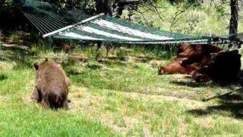 Als berenwelpjes je hangmat ontdekken...