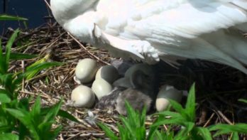 Geboorte en eerste momenten van zwanenpulletjes (jongen)