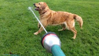 Hond gek op de tuinslang